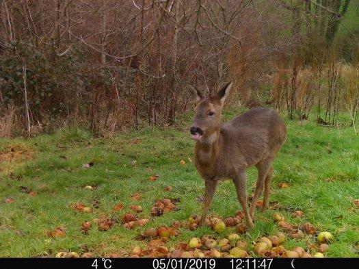 Roe deer enjoying windfalls