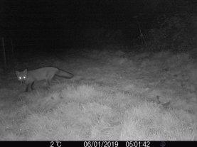Fox on early morning patrol