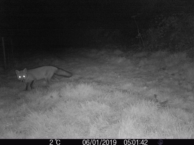 Fox on early morning patrol