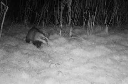 Badger in orchard