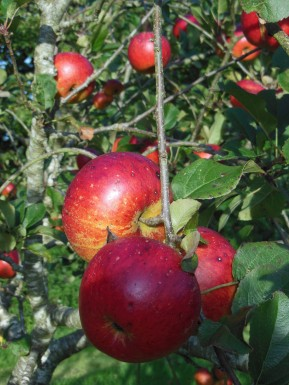 Lord Lambourne apples, late September 2018