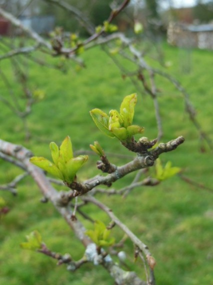 First signs of life on Red Sentinel crab apple, March 2019