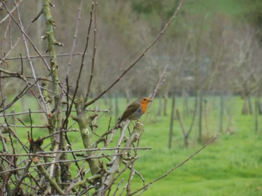 Robin on winter prunings