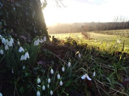 Early February snowdrops