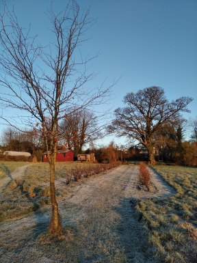 Rows of blackcurrants bushes with pressing shed & polytunnel