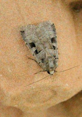 Autumnal Rustic moth