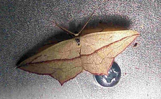 Blood vein moth