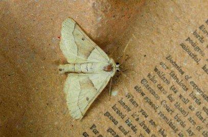 Dun-bar moth (variety of colours)