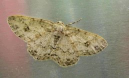 Pale Oak Beauty moth (under a large oak tree to one side of the orchard)