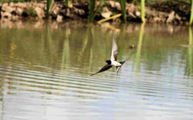 Swallow over the pond, September