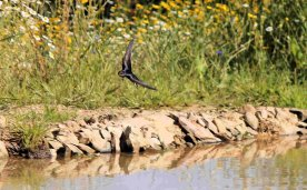 Swallow over the wildlife pond, September