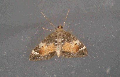 Common Marbled Carpet Moth