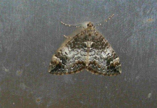Common Marbled Carpet Moth (variation)