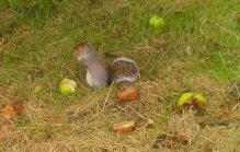 Squirrel eating apples